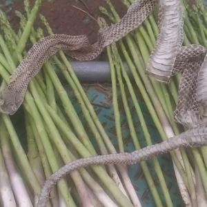 【農業作業9月23日】アスパラ畑の緑肥と、新しいジャンルのお酒の話