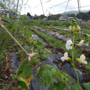 【農作業6月15日】少しずつ畑が賑やかになってきました!残る定植は大量のアレ