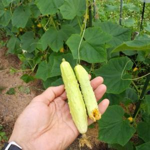 【農作業6月25日】キュウリ、レタス、ニンニクと収穫が徐々に??