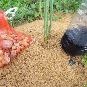【農作業7月6日】ニンニクの収穫と、ニンニクのコンパイオンプランツのアスパラを消毒作戦