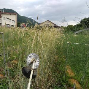 【農作業7月12日】ライ麦の刈り取りをやっとやりました!