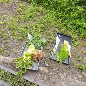 【農作業7月14日】やっとニンニクの収穫をしました