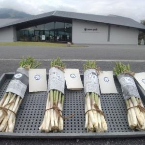 【農作業9月14日】土壌改善の為にアスパラの下部元にニンニクを混植!