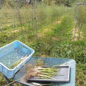 【農作業9月16日】収穫終了しそうな作物、定植種まき完了な作物、秋の収穫が始まった作物