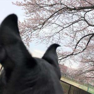 桜ハンタールッカ その1