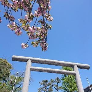 桜神宮の鳥居に八重桜に@桜新町