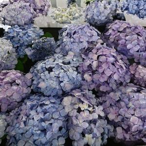手水舎に紫陽花@桜神宮。