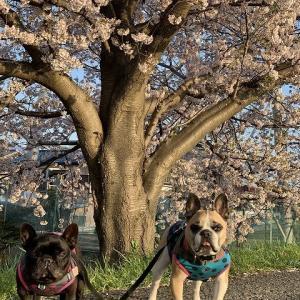 桜に罪はなかろうがっ!