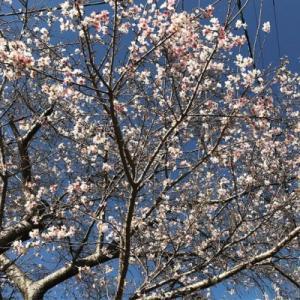 犬山の四季桜