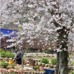 ★桜~迎賓館サクラヒルズ川上別荘  in  岐阜(各務原)