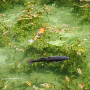 ★名もなき池(通称 モネの池) in  岐阜(関市)