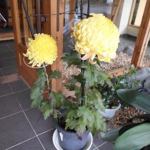 菊の花とレクリエーション