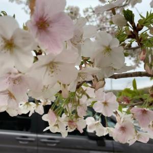 50代、桜が咲くと思い出す事を=父の事、そして去年=【気持ちの事】