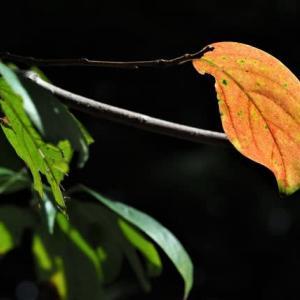 色づく柿の実、葉、10月13日のコウヤボウキの様子