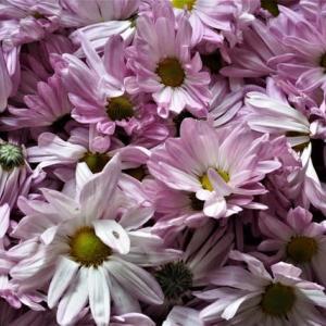 きれい、そして美味しい食用菊