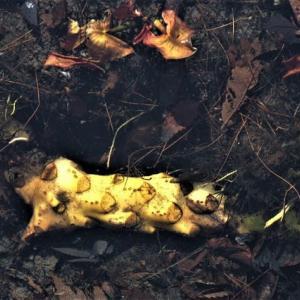コウホネ(河骨)の骨