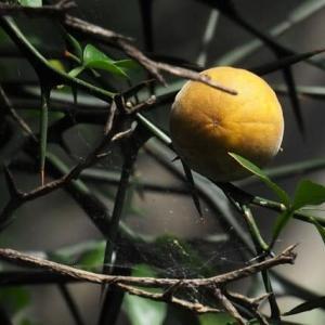 島倉千代子さんの歌「からたち日記」で有名なカラタチの果実