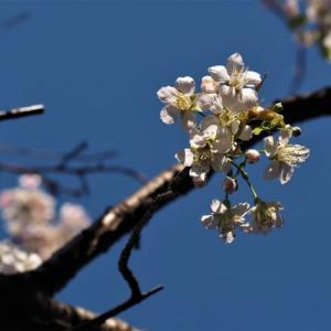 まるで春のよう(^^♪・・美しいヒマラヤザクラ