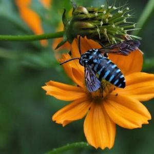 ルリモンハナバチ・・幸せを運ぶ青いハチ