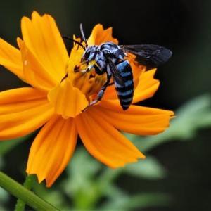 またまた青いハチ、ルリモンハナバチ