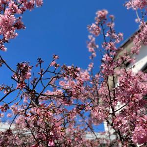3月3日、わが家の彼岸桜