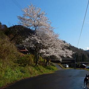 桜満開です!! ノカンゾウの酢みそ和え作りました。