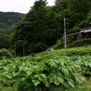 ジャガイモ収穫しました!!