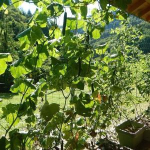 我が家の夏野菜 キュウリのQちゃん