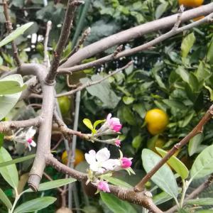 りんご狂い咲き?