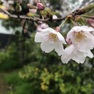桜とペット瞑想配信