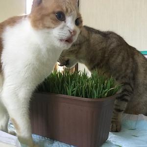 猫草はじめました