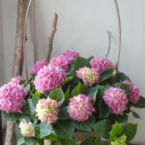 今年も紫陽花の季節がやって来ました