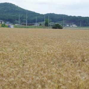 麦刈りの頃