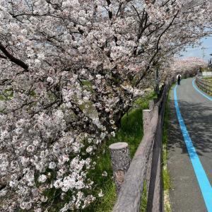 胃カメラと徒歩2分の桜