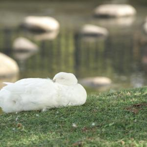 朝からカモの人(昆陽池公園・2019.11.3) その3