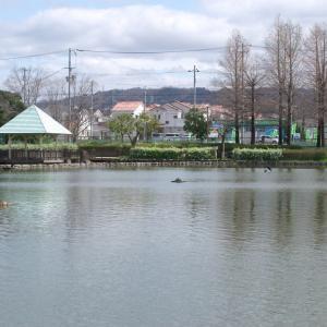 鴨な昼下がり(弁天池公園・2020.3.29) その1