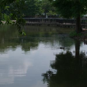 朝からカモの人(昆陽池公園・2020.8.9) その1
