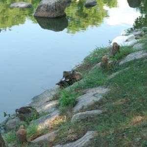 朝からカモの人(昆陽池公園・2020.9.21) その4