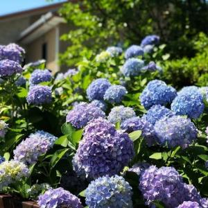 千里山神社の紫陽花