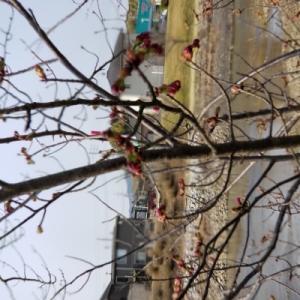 田布施の桜