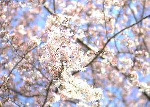 せつない卒業式と希望の入学式と校庭の桜