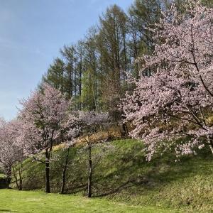 桜満開の美幌町・400匹のこいのぼり泳ぐ