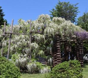 遠軽町丸瀬布平和公園弘政寺満開の藤園へ