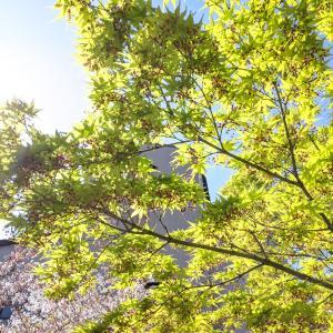 桜満開から青紅葉の緑が目に留まる季節へ。