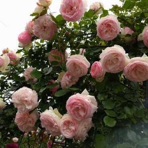 今春の薔薇・・・・・・・