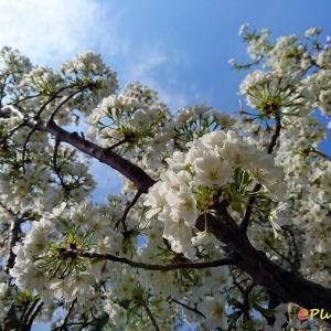 こんな桜みたいに