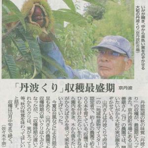 町 丹波栗 収穫 最盛期─京都新聞 丹波版より