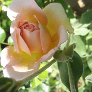 薔薇とチャイブの花♪