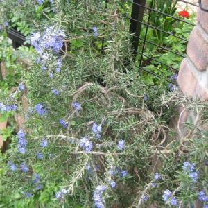 ネグンドカエデの新芽とローズマリー