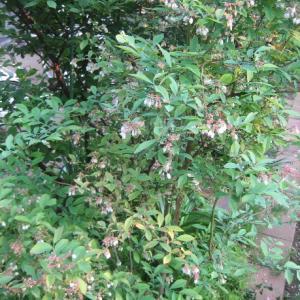 ブルーベリーとオダマキの花